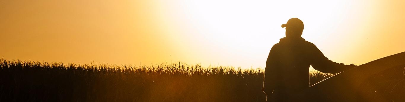 Cosecha de grano al amanecer